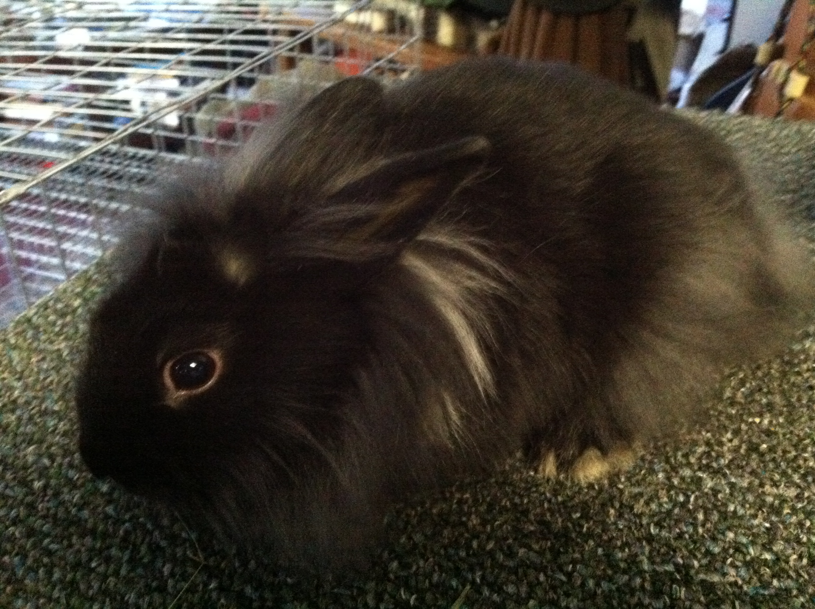 Brown and white lionhead rabbit - photo#31