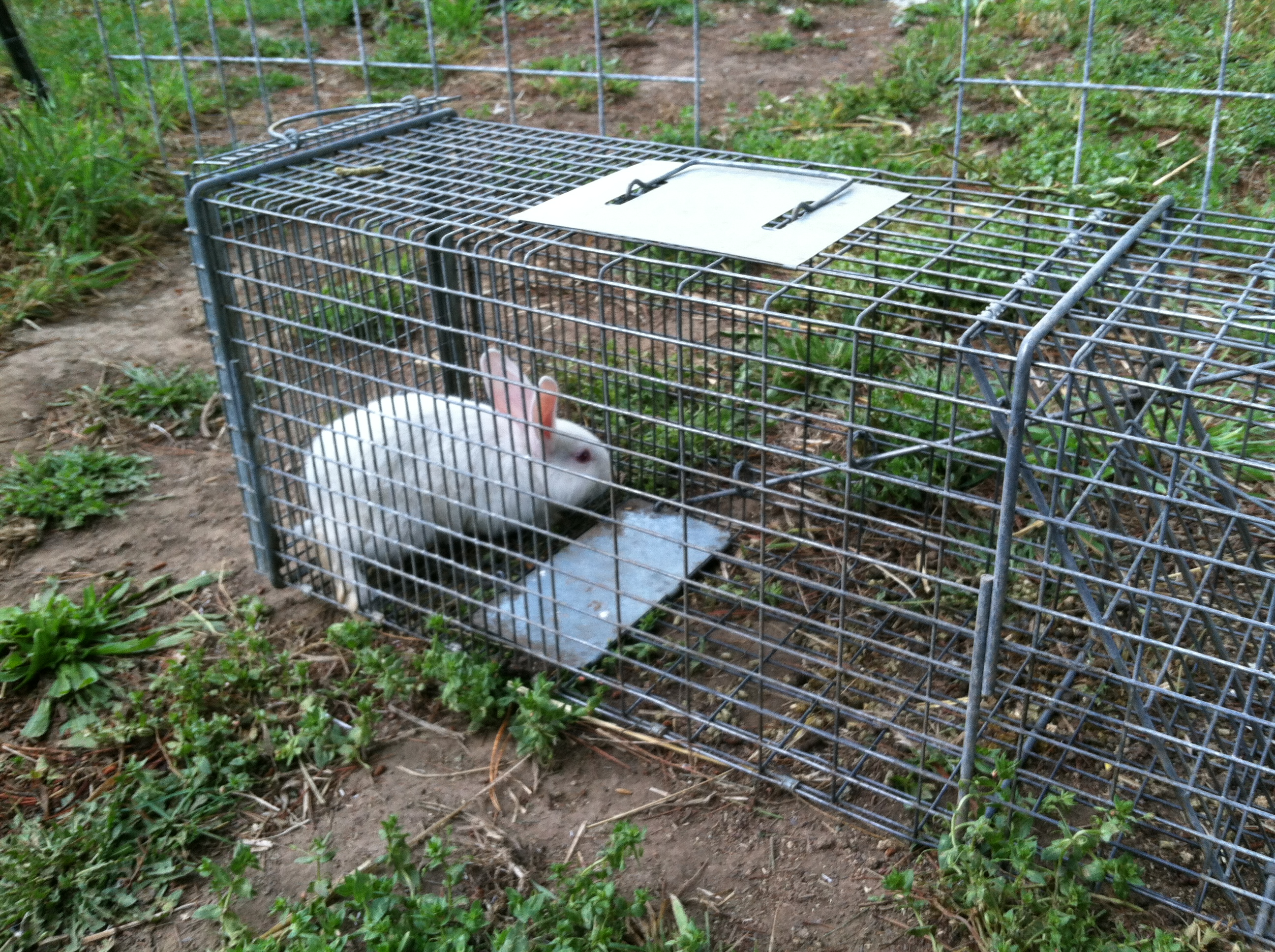 Caught one Free Range Rabbit!
