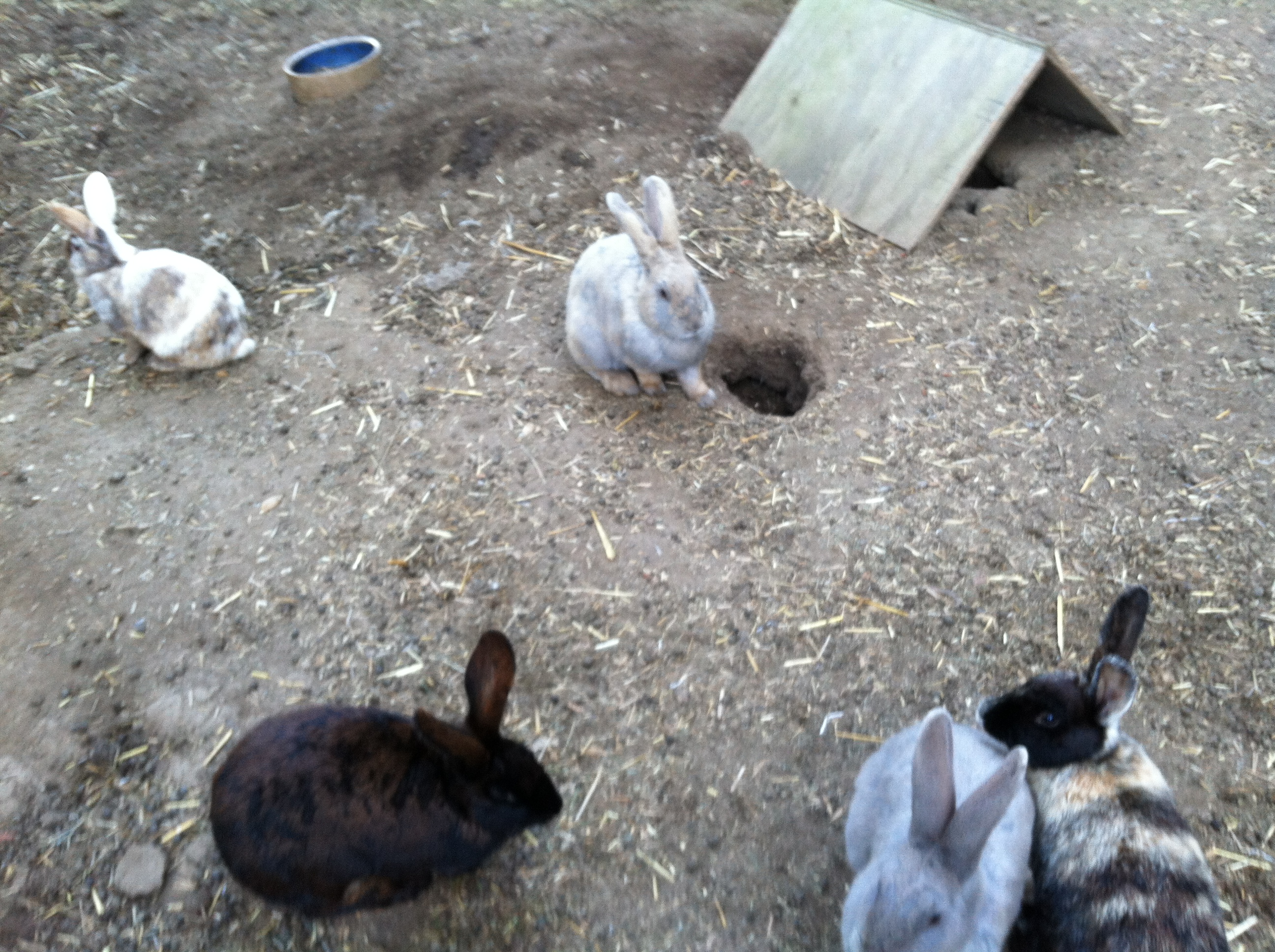 Some of our girls... our colony consists of American, Harlequin, Beveren, and American x Belgian Hare crosses