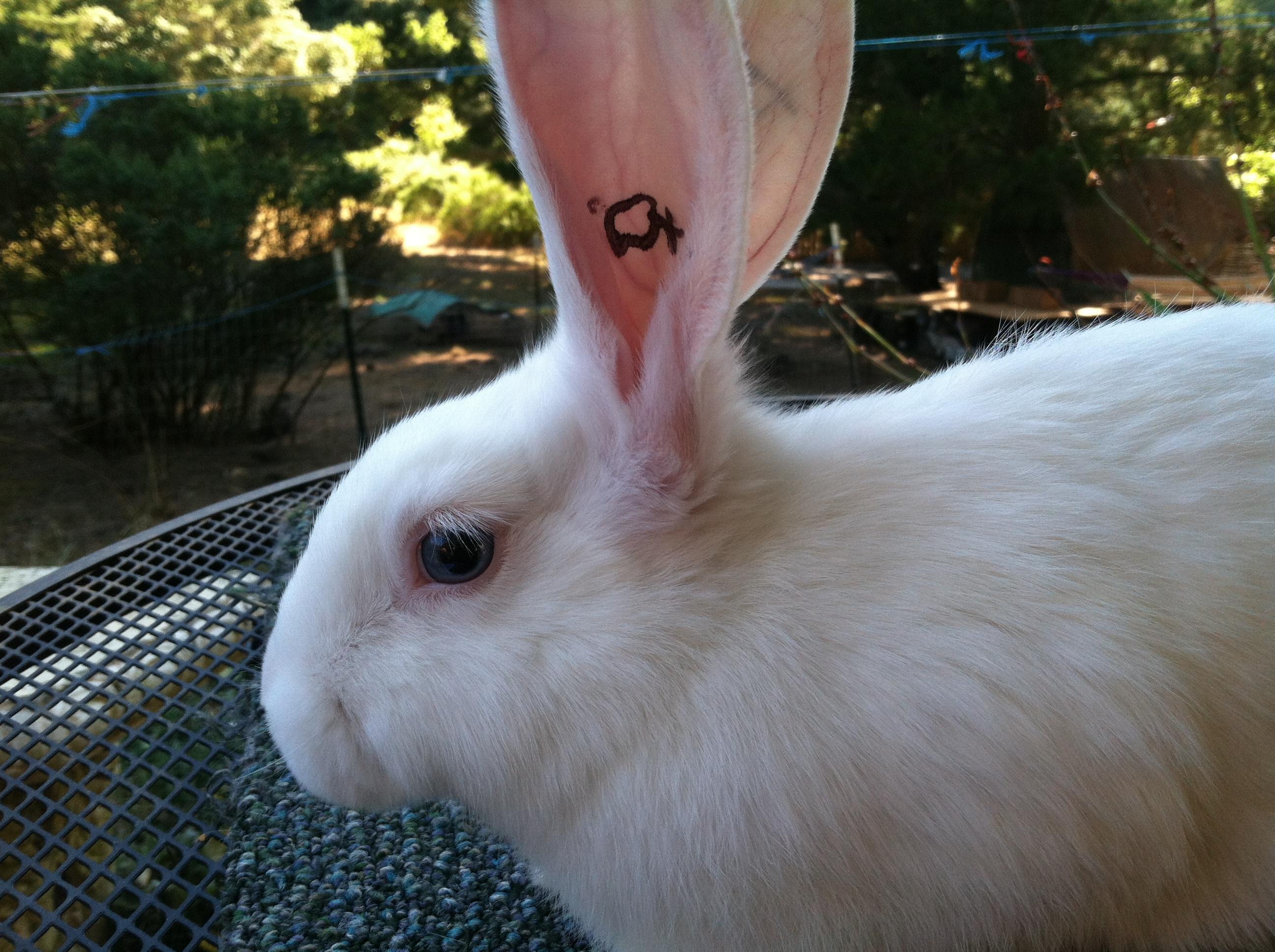 meat rabbits u2013 trickster hares